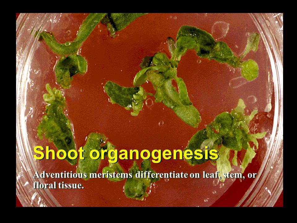 Shoot organogenesis Adventitious meristems differentiate on leaf, stem, or floral tissue.