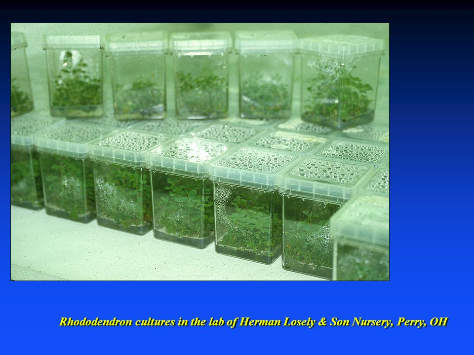 Rhododendron cultures in the lab of Herman Losely & Son Nursery, Perry, OH