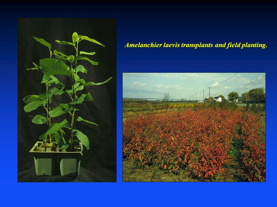 Amelanchier laevis transplants and field planting.