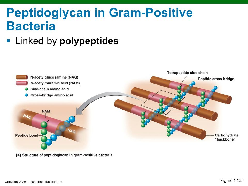 Copyright © 2010 Pearson Education, Inc. Figure 4.13a Peptidoglycan in Gram-Positive Bacteria  Linked by polypeptides