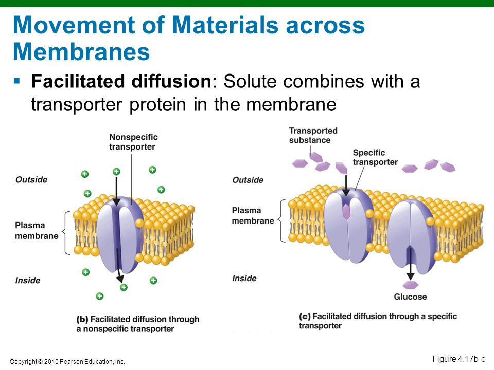 Copyright © 2010 Pearson Education, Inc. Figure 4.17b-c Movement of Materials across Membranes  Facilitated diffusion: Solute combines with a transpo