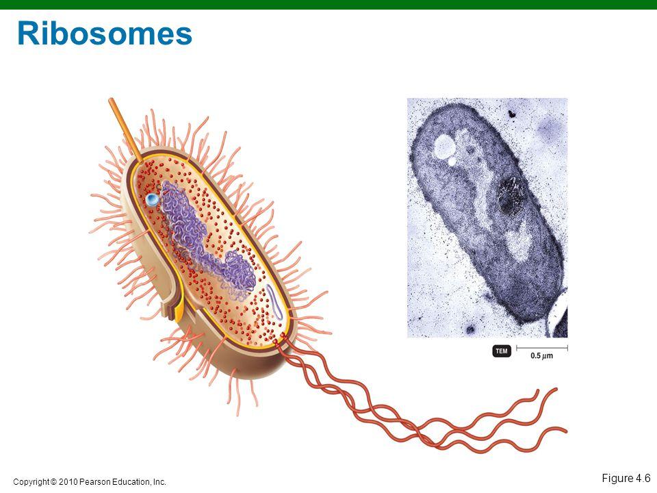 Copyright © 2010 Pearson Education, Inc. Figure 4.6 Ribosomes