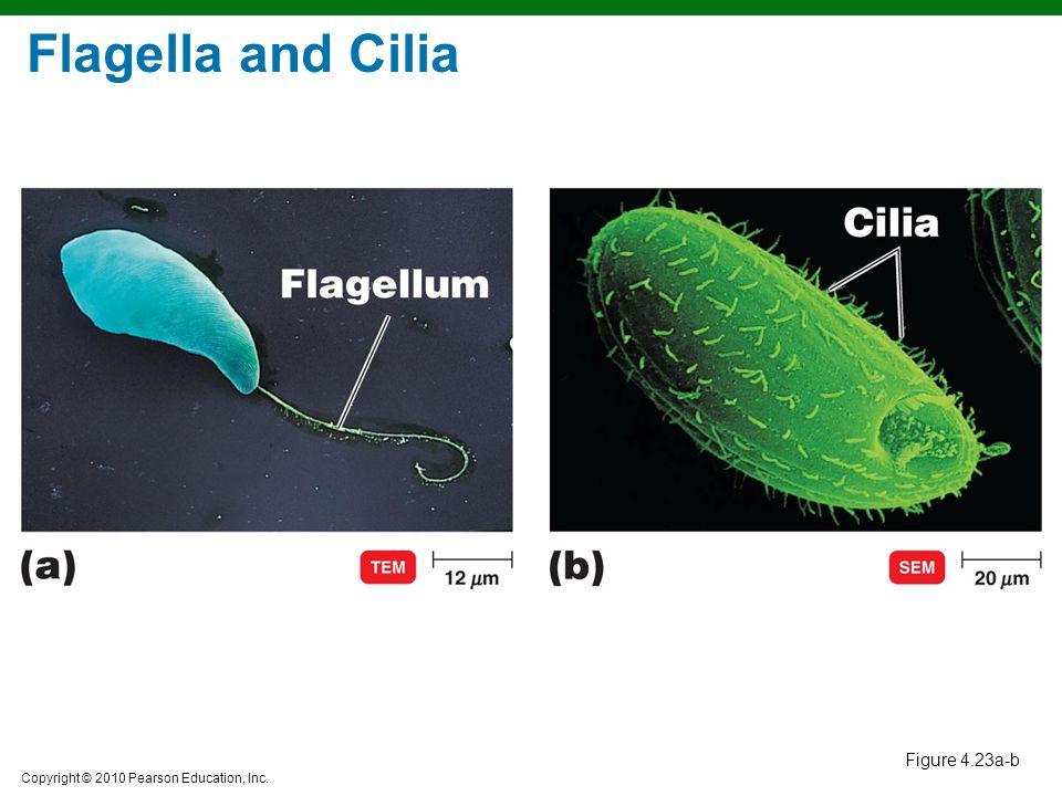 Copyright © 2010 Pearson Education, Inc. Figure 4.23a-b Flagella and Cilia