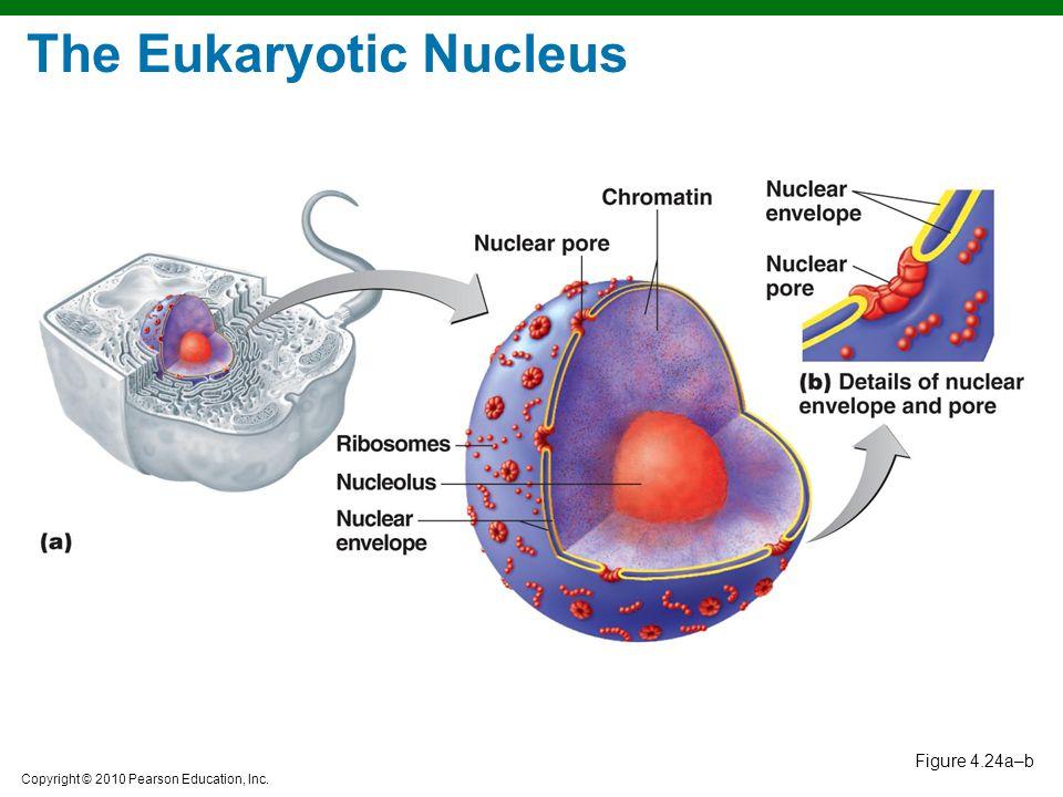 Copyright © 2010 Pearson Education, Inc. Figure 4.24a–b The Eukaryotic Nucleus