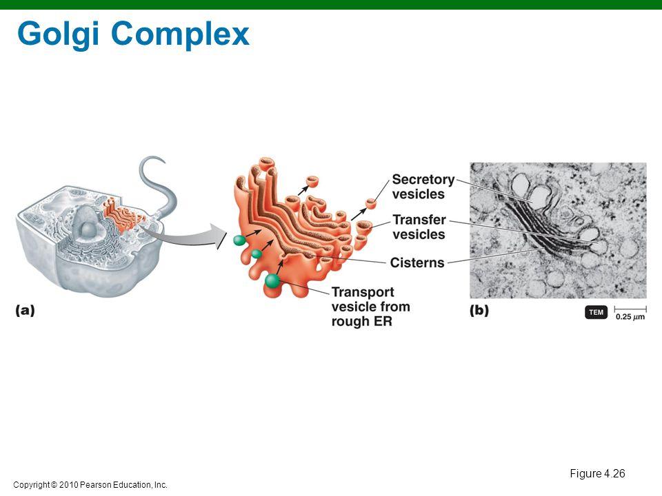 Copyright © 2010 Pearson Education, Inc. Figure 4.26 Golgi Complex