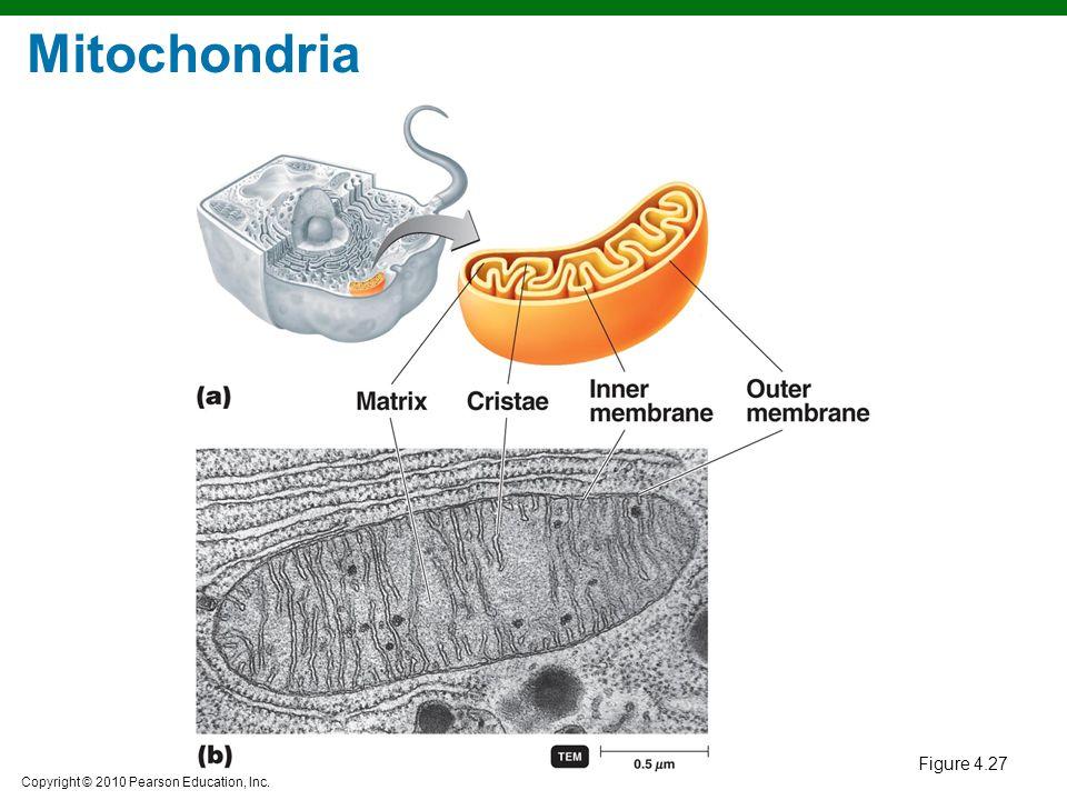 Copyright © 2010 Pearson Education, Inc. Figure 4.27 Mitochondria