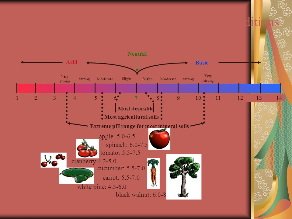 Possible pH Ranges Under Natural Soil Conditions black walnut: 6.0-8.0 Most desirable carrot: 5.5-7.0 cucumber: 5.5-7.0 spinach: 6.0-7.5 tomato: 5.5-7.5 white pine: 4.5-6.0 Very strong StrongModerate Slight ModerateStrong Very strong Neutral Acid Basic 34567891011 1 2121314 Most agricultural soils Extreme pH range for most mineral soils cranberry:4.2-5.0 apple: 5.0-6.5
