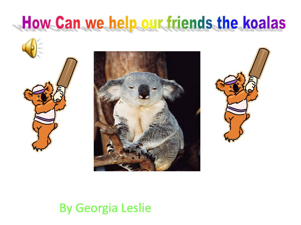 The koala lives in Australia in the eucalypt forests of eastern and south eastern Australia in the eucalypts trees.