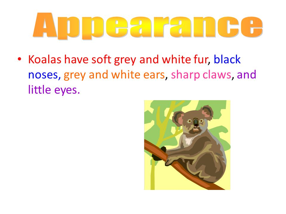 Koalas have soft grey and white fur, black noses, grey and white ears, sharp claws, and little eyes.