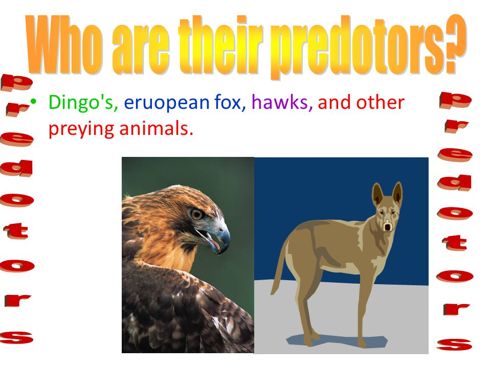 Dingo s, eruopean fox, hawks, and other preying animals.