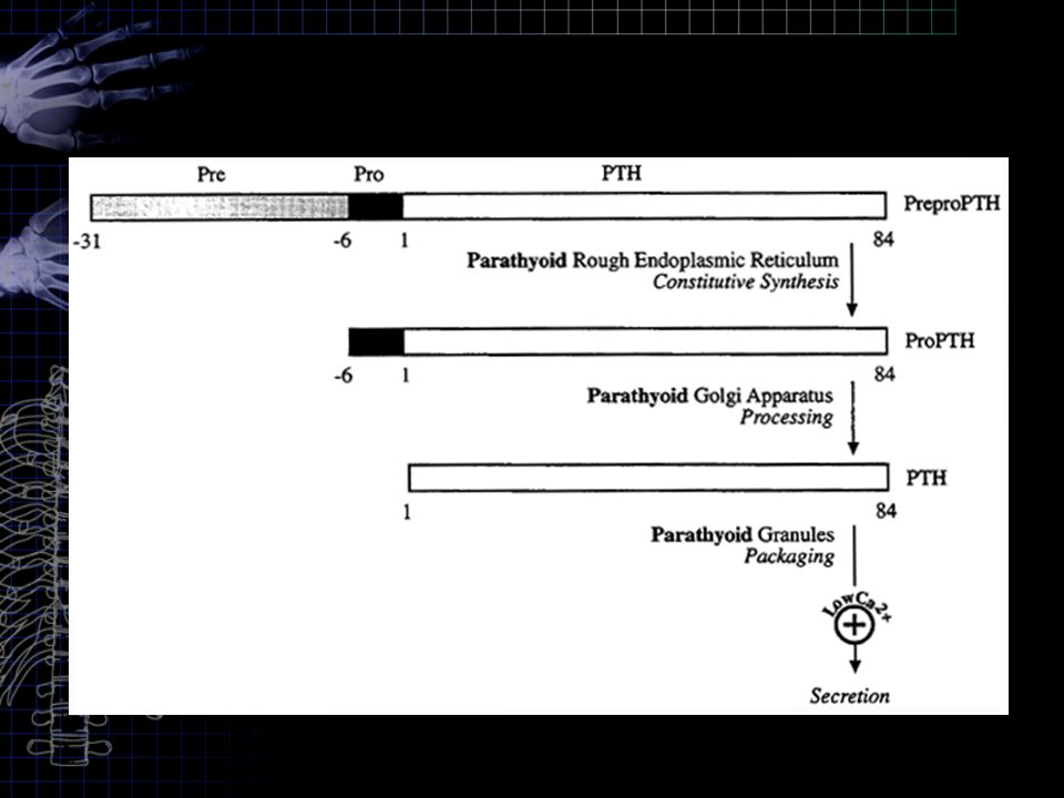 Actions of Parathyroid Hormone: PTH act directly on bones to increase bone resorption & mobilize Ca 2+.