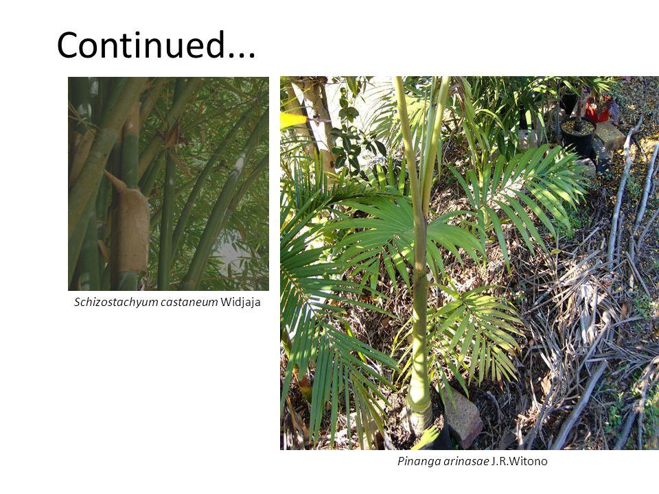 Continued... Pinanga arinasae J.R.Witono Schizostachyum castaneum Widjaja