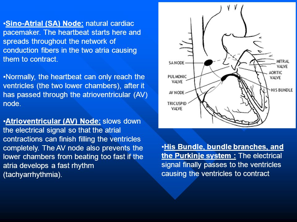 Sino-Atrial (SA) Node: natural cardiac pacemaker. The heartbeat starts here and spreads throughout the network of conduction fibers in the two atria c