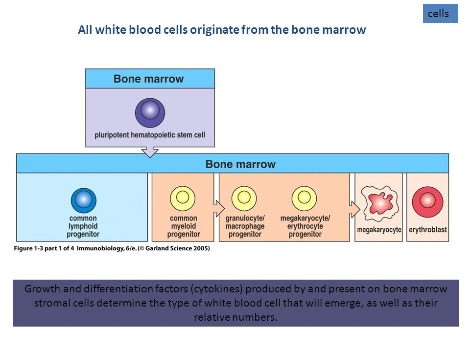 Growth and differentiation factors (cytokines) produced by and present on bone marrow stromal cells determine the type of white blood cell that will emerge, as well as their relative numbers.