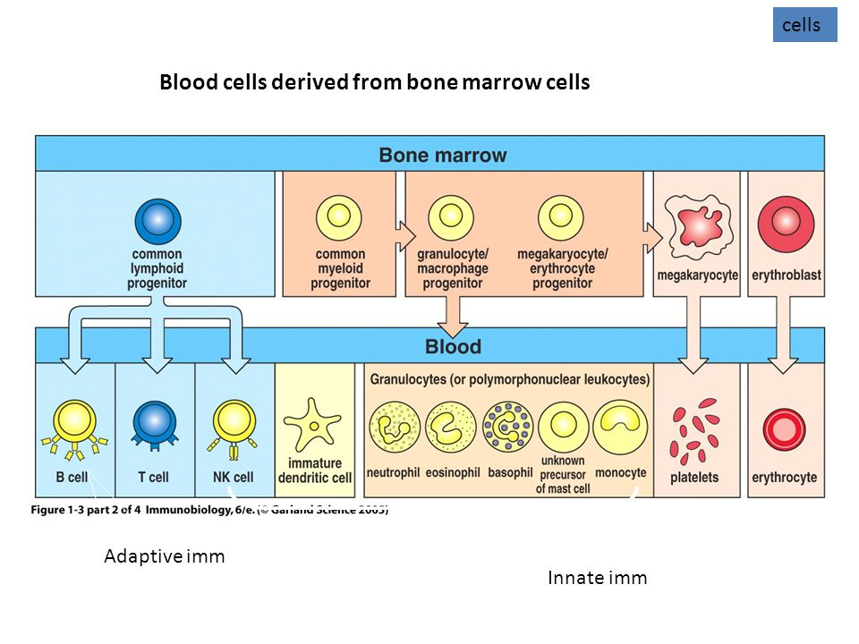 Blood cells derived from bone marrow cells cells Innate imm Adaptive imm