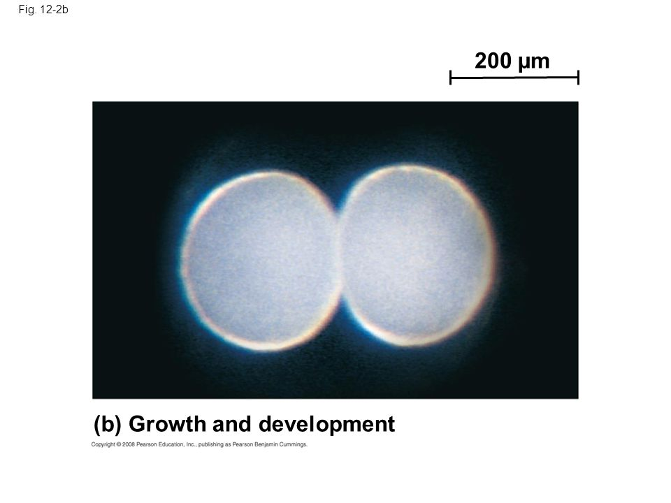 Fig. 12-2c 20 µm (c) Tissue renewal
