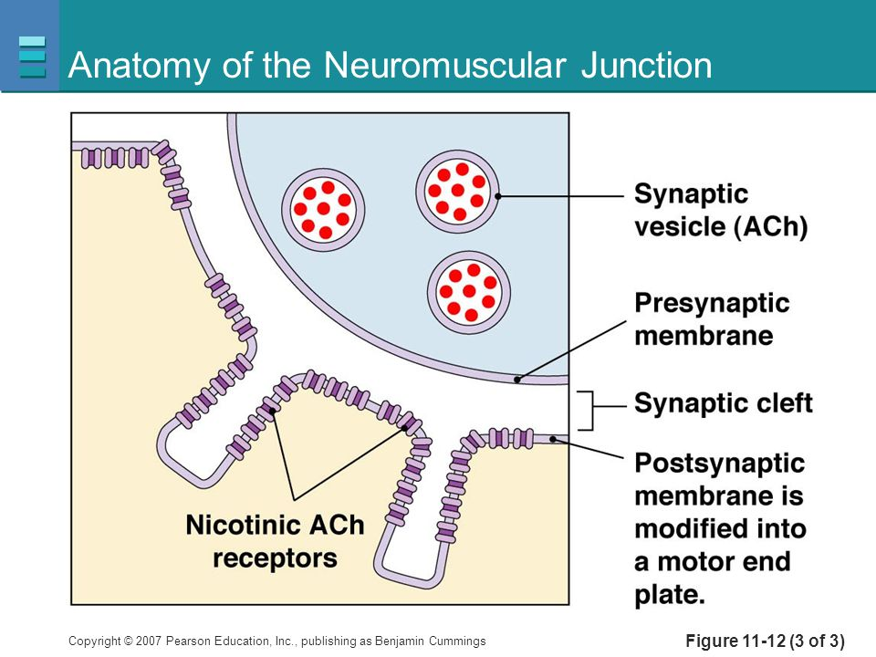 Copyright © 2007 Pearson Education, Inc., publishing as Benjamin Cummings Anatomy of the Neuromuscular Junction Figure 11-12 (3 of 3)