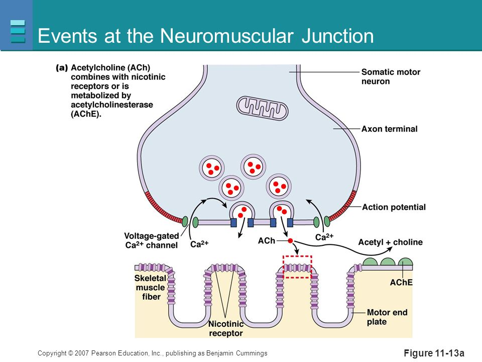 Copyright © 2007 Pearson Education, Inc., publishing as Benjamin Cummings Figure 11-13a Events at the Neuromuscular Junction