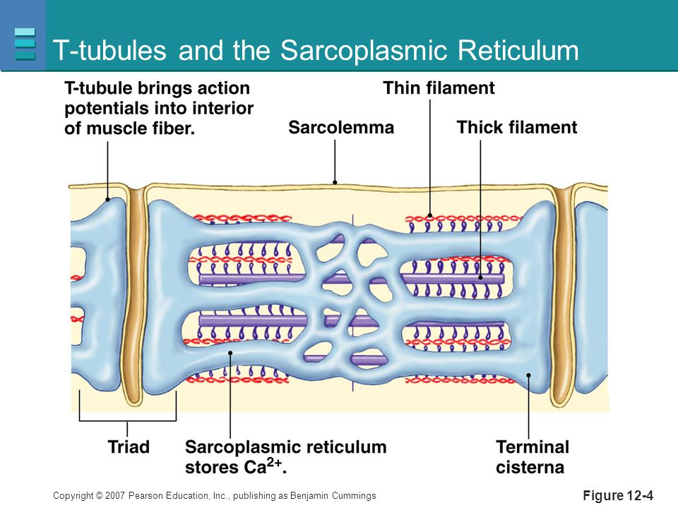 Copyright © 2007 Pearson Education, Inc., publishing as Benjamin Cummings Figure 12-4 T-tubules and the Sarcoplasmic Reticulum