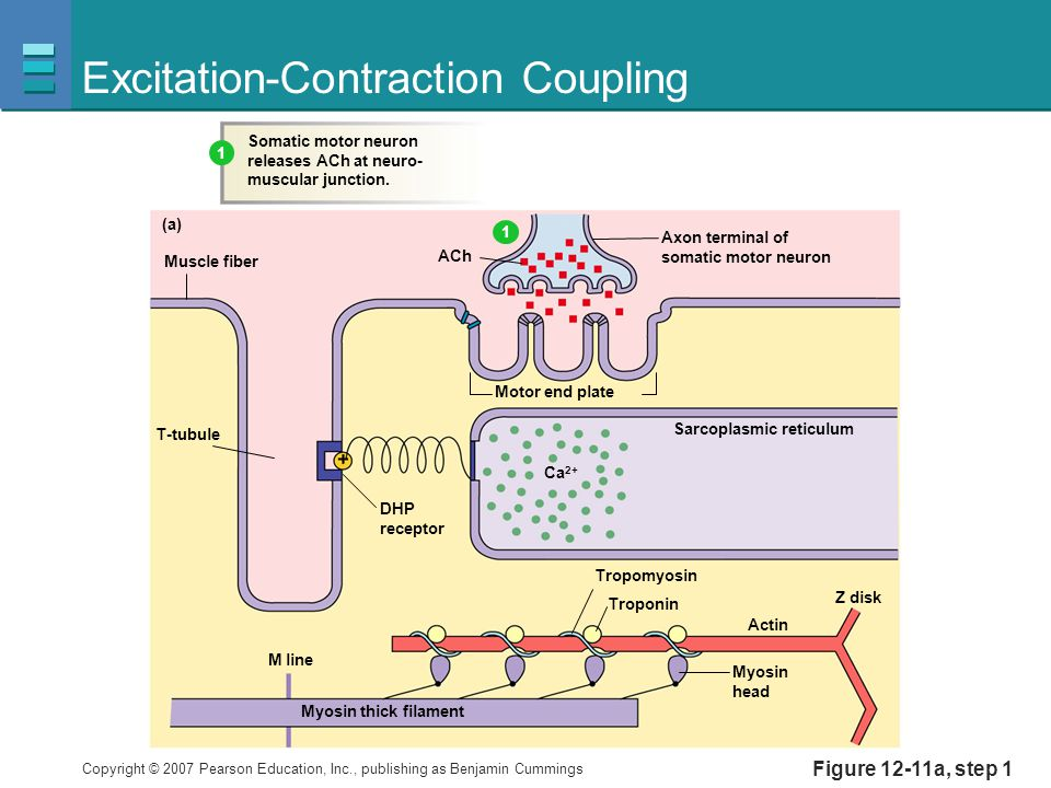 Copyright © 2007 Pearson Education, Inc., publishing as Benjamin Cummings Figure 12-11a, step 1 Excitation-Contraction Coupling Muscle fiber Motor end