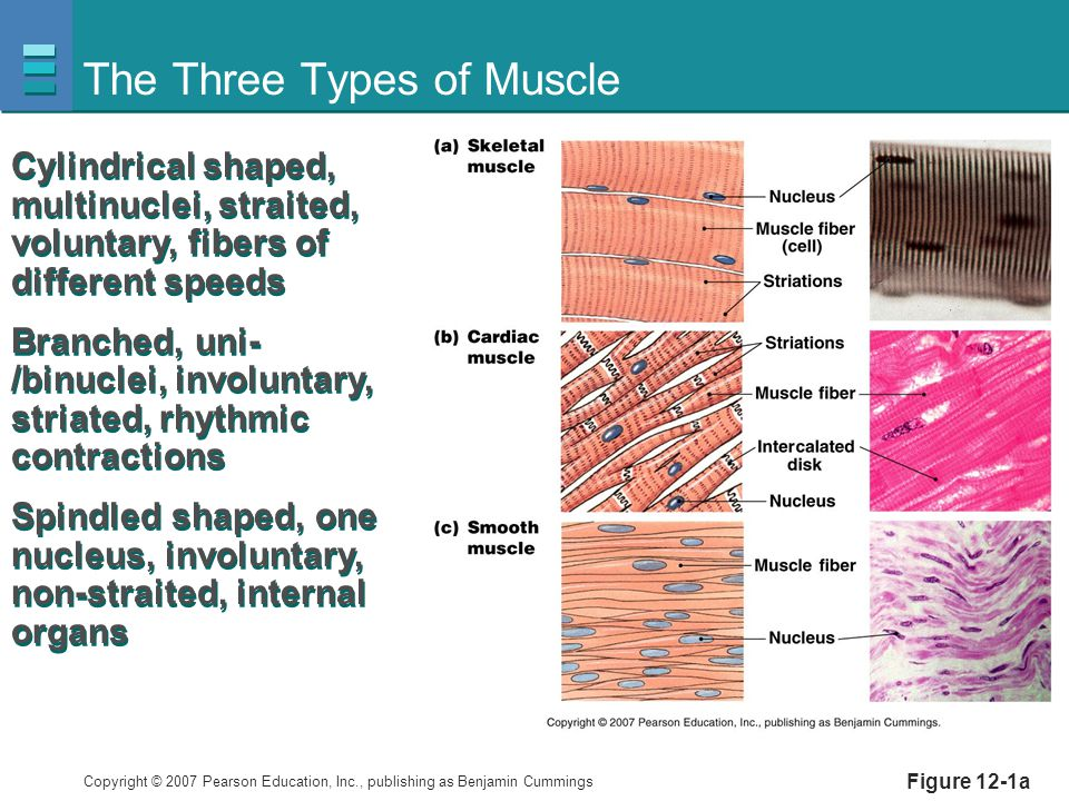 Copyright © 2007 Pearson Education, Inc., publishing as Benjamin Cummings The Three Types of Muscle Figure 12-1a Cylindrical shaped, multinuclei, stra