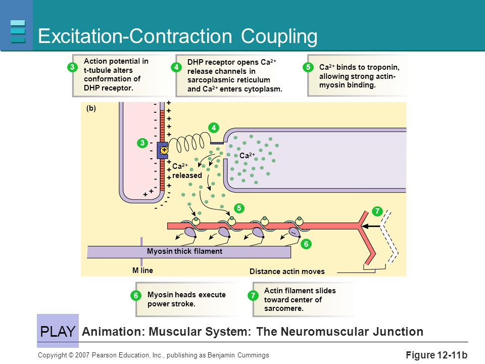 Copyright © 2007 Pearson Education, Inc., publishing as Benjamin Cummings Figure 12-11b Excitation-Contraction Coupling Animation: Muscular System: Th