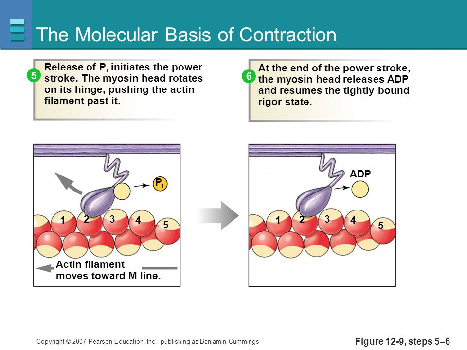Copyright © 2007 Pearson Education, Inc., publishing as Benjamin Cummings Figure 12-9, steps 5–6 The Molecular Basis of Contraction At the end of the