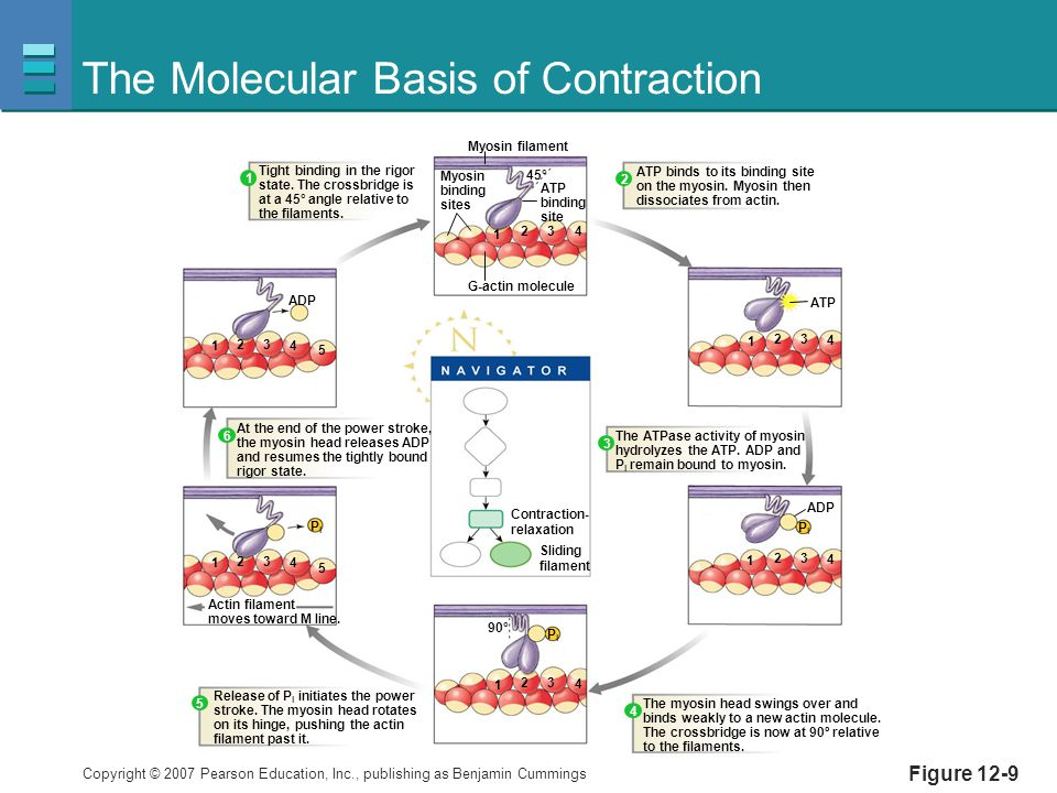 Copyright © 2007 Pearson Education, Inc., publishing as Benjamin Cummings Figure 12-9 The Molecular Basis of Contraction At the end of the power strok