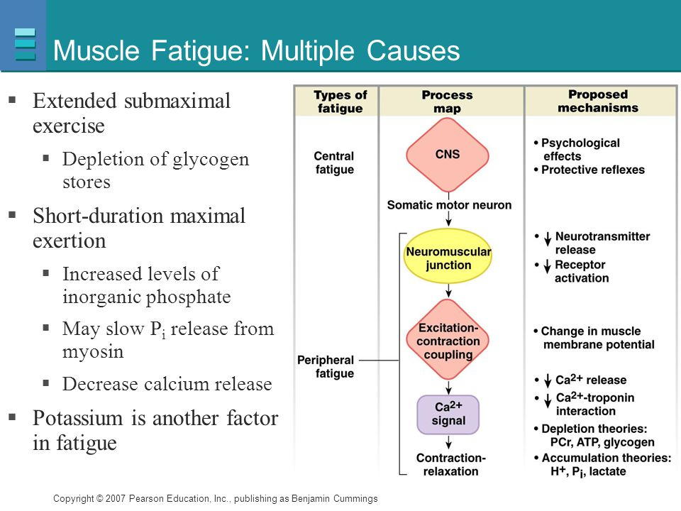 Copyright © 2007 Pearson Education, Inc., publishing as Benjamin Cummings Muscle Fatigue: Multiple Causes  Extended submaximal exercise  Depletion o