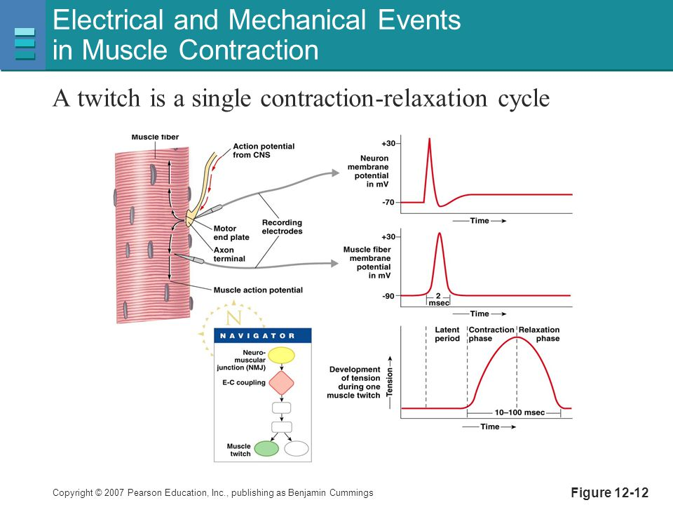Copyright © 2007 Pearson Education, Inc., publishing as Benjamin Cummings Figure 12-12 Electrical and Mechanical Events in Muscle Contraction A twitch