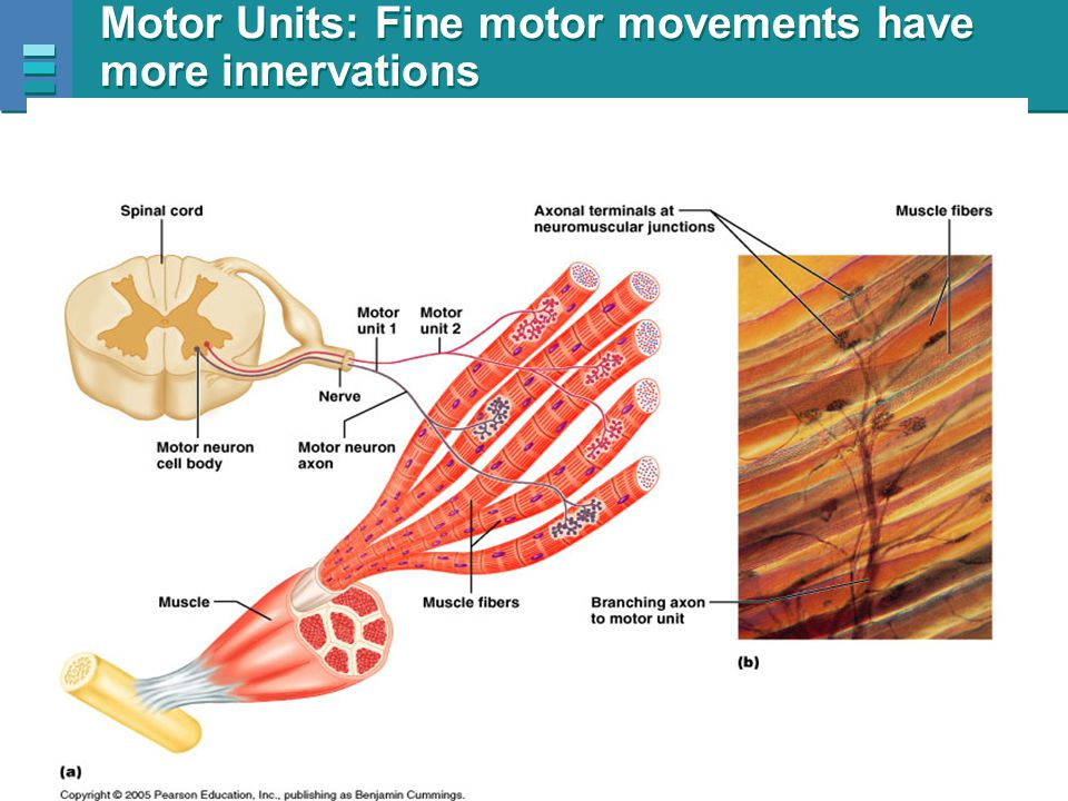 Copyright © 2007 Pearson Education, Inc., publishing as Benjamin Cummings Motor Units: Fine motor movements have more innervations