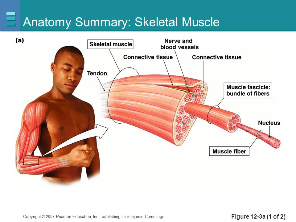 Copyright © 2007 Pearson Education, Inc., publishing as Benjamin Cummings Figure 12-3a (1 of 2) Anatomy Summary: Skeletal Muscle