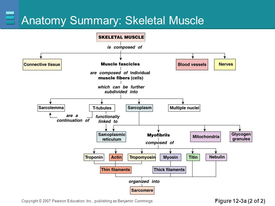 Copyright © 2007 Pearson Education, Inc., publishing as Benjamin Cummings Anatomy Summary: Skeletal Muscle Figure 12-3a (2 of 2)