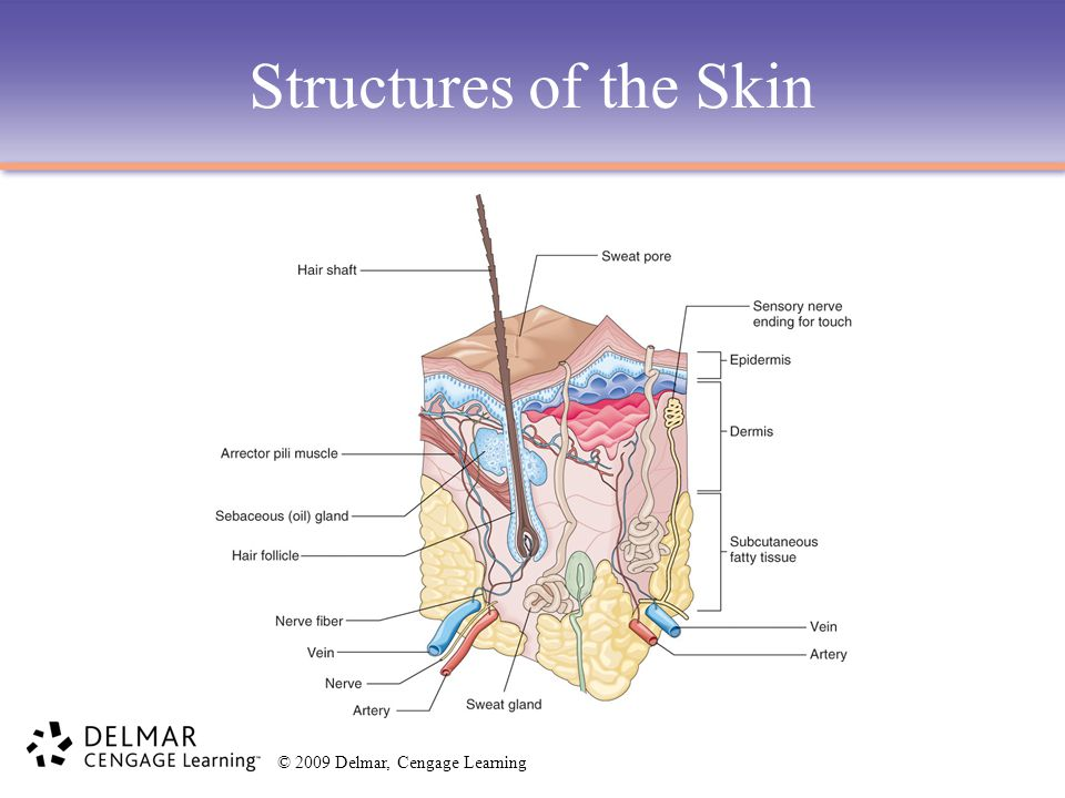 © 2009 Delmar, Cengage Learning Sebaceous Glands Primary Functions –Secrete sebum (oil) to lubricate the skin.