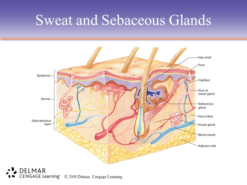 © 2009 Delmar, Cengage Learning Sweat Glands Primary Functions –Secrete sweat to regulate body temperature and water content.