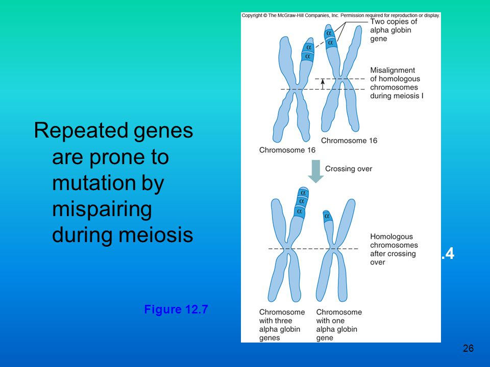 26 Figure 12.4 Repeated genes are prone to mutation by mispairing during meiosis Figure 12.7