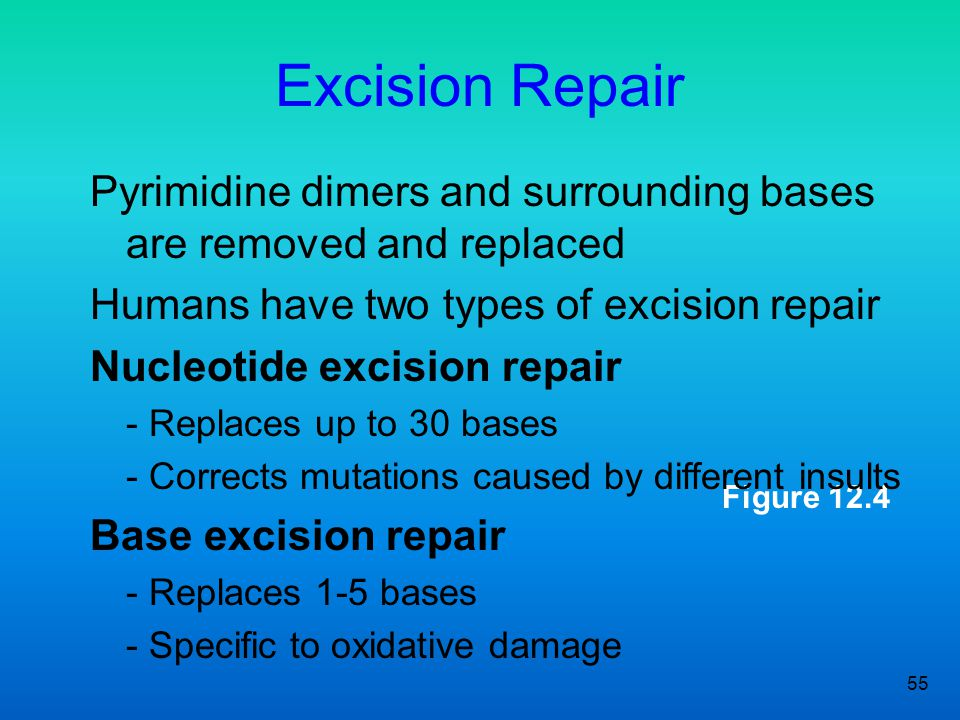 55 Figure 12.4 Excision Repair Pyrimidine dimers and surrounding bases are removed and replaced Humans have two types of excision repair Nucleotide ex
