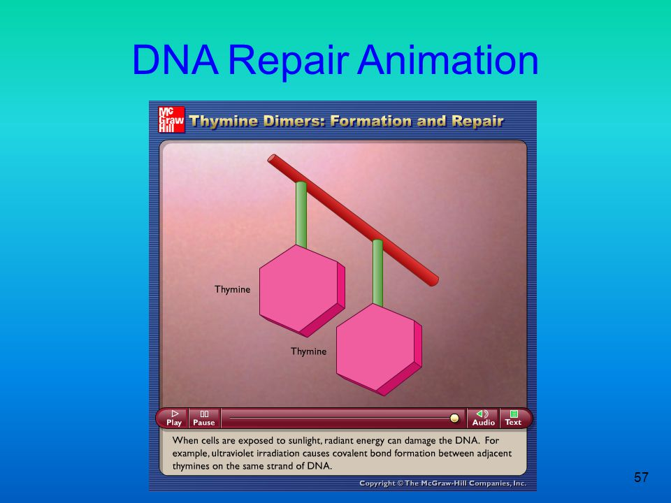 57 DNA Repair Animation Please note that due to differing operating systems, some animations will not appear until the presentation is viewed in Prese
