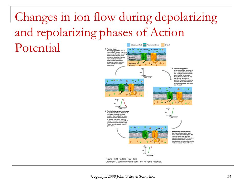 Copyright 2009 John Wiley & Sons, Inc. 34 Changes in ion flow during depolarizing and repolarizing phases of Action Potential