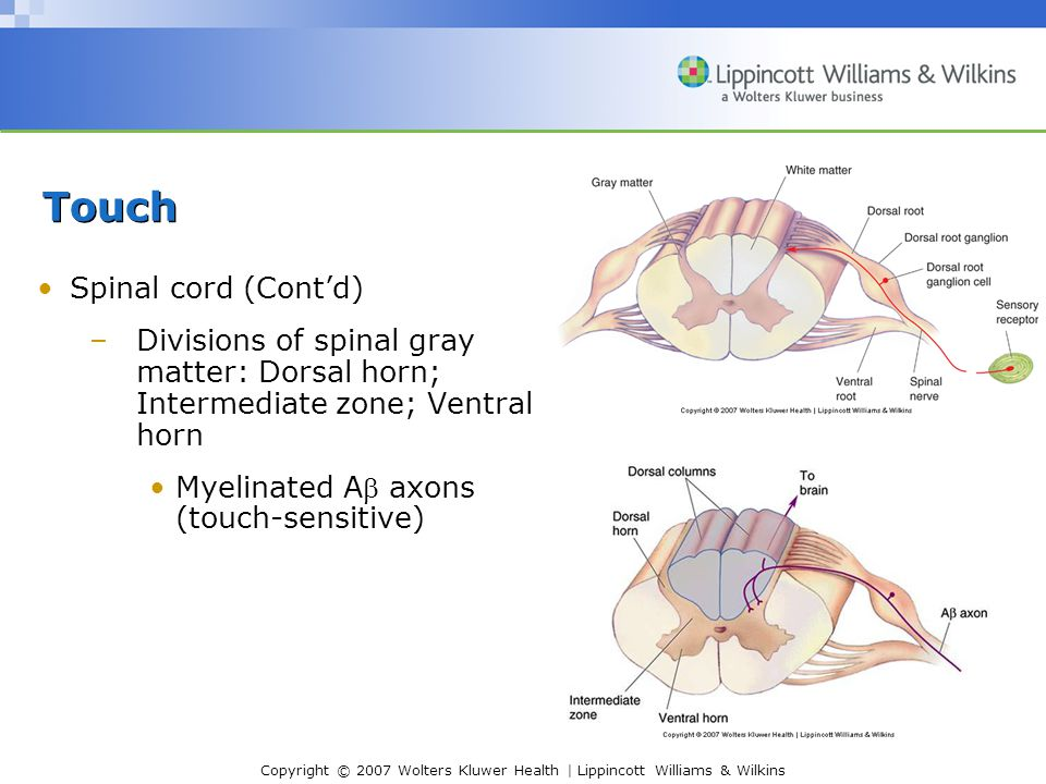 Copyright © 2007 Wolters Kluwer Health | Lippincott Williams & Wilkins Touch Spinal cord (Cont'd) –Divisions of spinal gray matter: Dorsal horn; Intermediate zone; Ventral horn Myelinated A axons (touch-sensitive)
