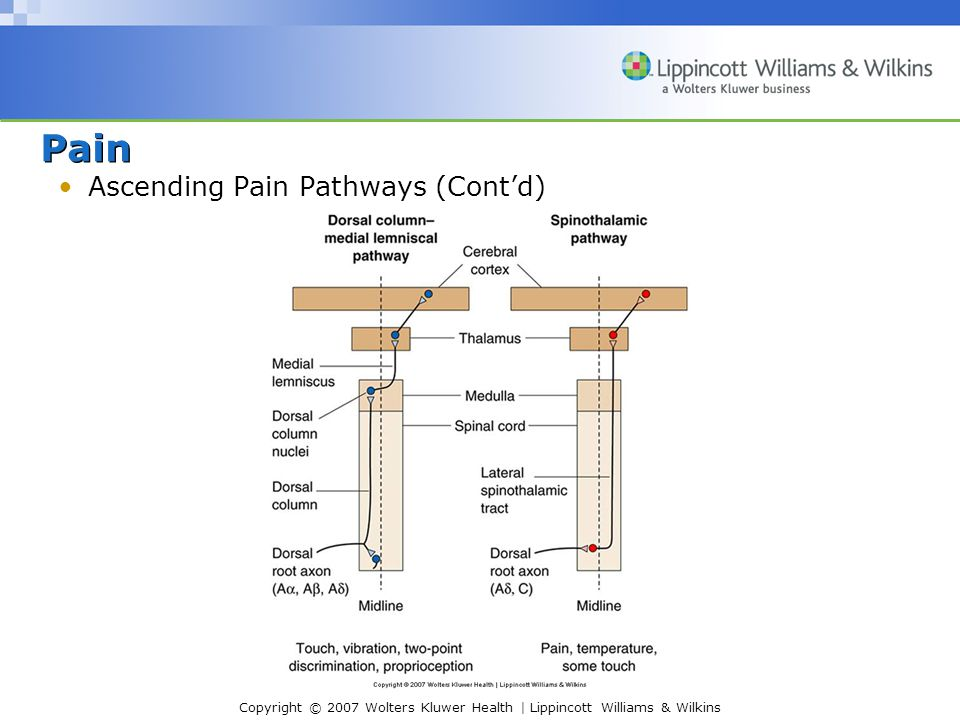 Copyright © 2007 Wolters Kluwer Health | Lippincott Williams & Wilkins Pain Ascending Pain Pathways (Cont'd)