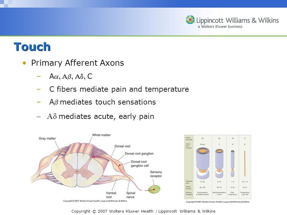 Copyright © 2007 Wolters Kluwer Health | Lippincott Williams & Wilkins Touch Primary Afferent Axons –AC –C fibers mediate pain and temperature –Amediates touch sensations  mediates acute, early pain