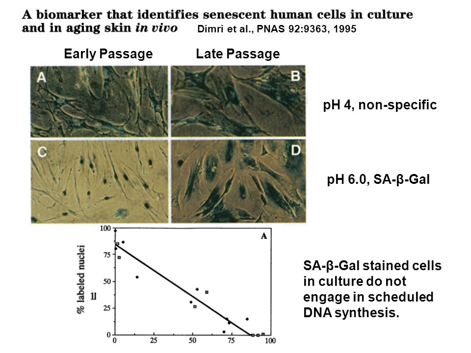 Dimri et al., PNAS 92:9363, 1995 Early Passage Late Passage pH 4, non-specific pH 6.0, SA-β-Gal SA-β-Gal stained cells in culture do not engage in scheduled DNA synthesis.