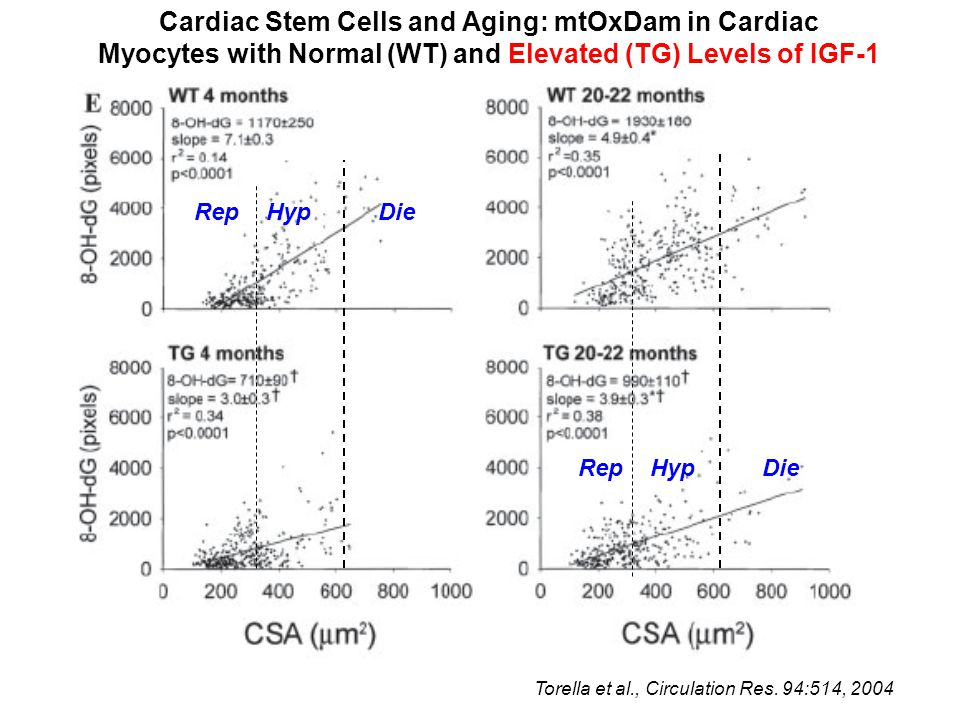Cardiac Stem Cells and Aging: mtOxDam in Cardiac Myocytes with Normal (WT) and Elevated (TG) Levels of IGF-1 Rep Hyp Die Torella et al., Circulation Res.