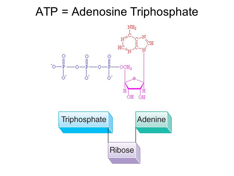 ATP = Adenosine Triphosphate