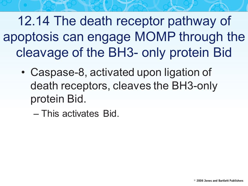 12.14 The death receptor pathway of apoptosis can engage MOMP through the cleavage of the BH3- only protein Bid Caspase-8, activated upon ligation of death receptors, cleaves the BH3-only protein Bid.
