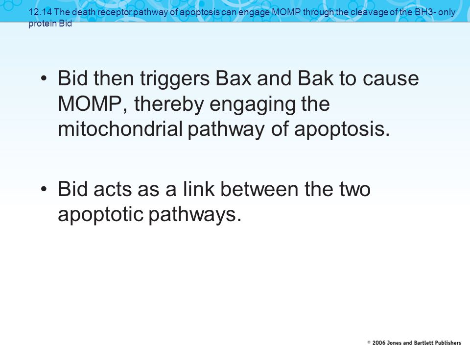 Bid then triggers Bax and Bak to cause MOMP, thereby engaging the mitochondrial pathway of apoptosis. Bid acts as a link between the two apoptotic pat