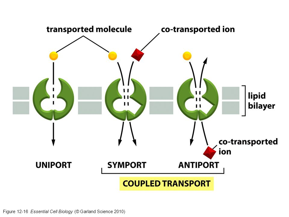 Figure 12-16 Essential Cell Biology (© Garland Science 2010)