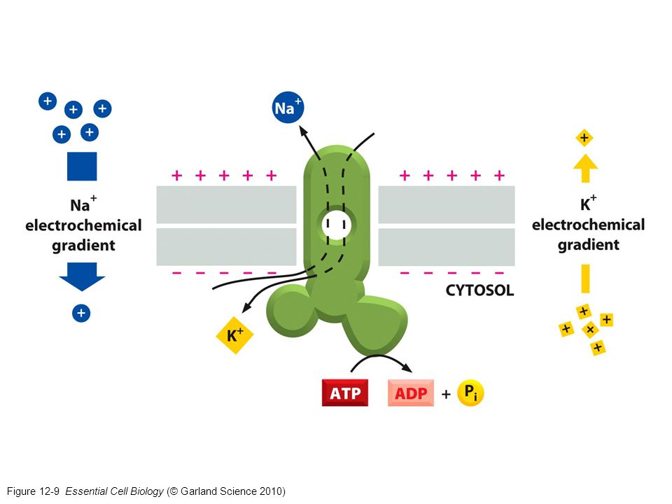 Figure 12-9 Essential Cell Biology (© Garland Science 2010)