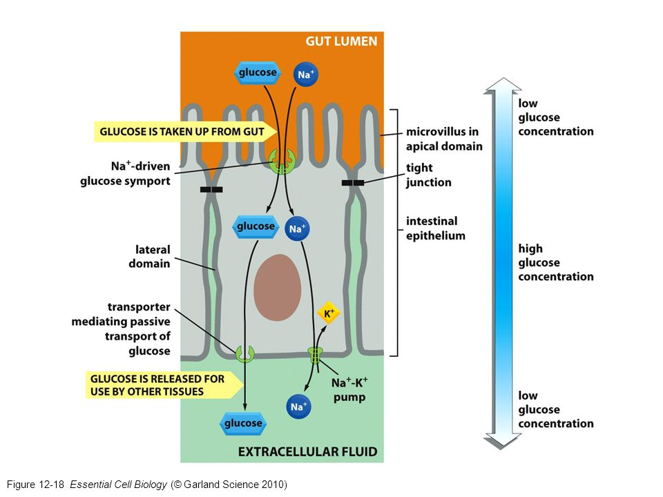 Figure 12-18 Essential Cell Biology (© Garland Science 2010)